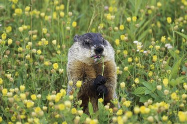 Groundhogs are members of the squirrel family.