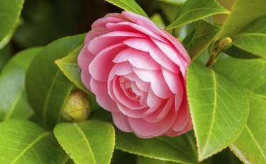 Pink Camellia sasanqua flower with green leaves