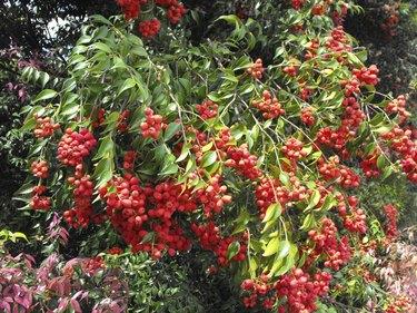 Lillypilly Branch