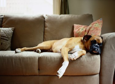 Boxer Lounging on Couch