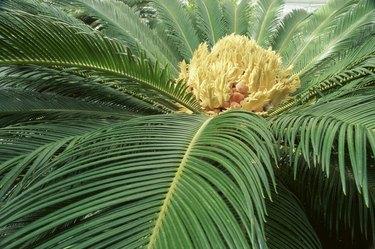 Close-up of Sago Palm