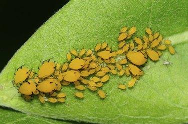 Orange Milkweed aphids on a milkweed leaf.