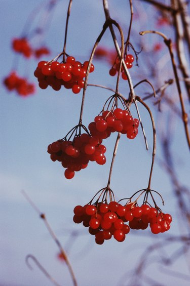 Bundles of cherries growing on branches