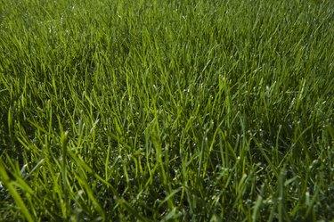 Grass,  close-up