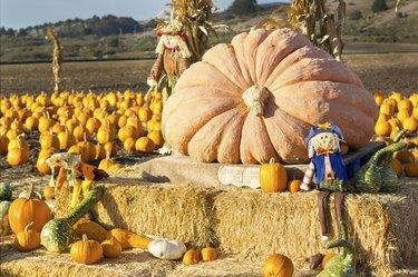 Pumpkin patch in California.