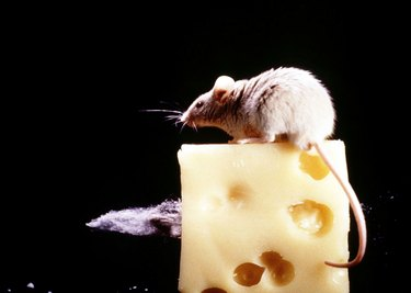 Mouse on swiss cheese
