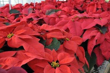 Red Greenhouse Poinsettias