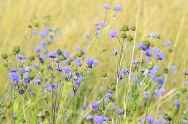 Succisa pratensis flowers on meadow