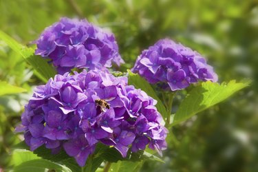 Purple Hortensia flowers and bee.