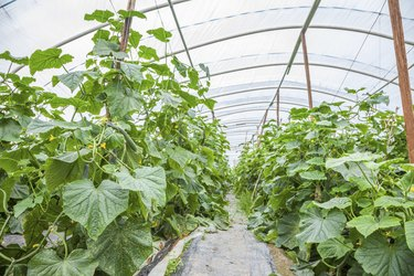 cucumber in green house