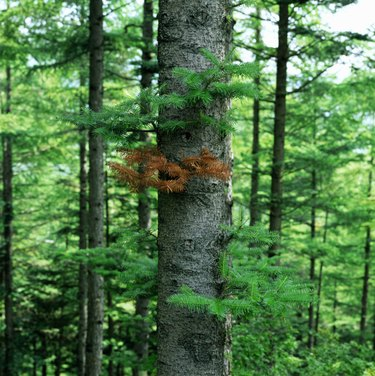 Pine trees (Pinus sp.) in forest