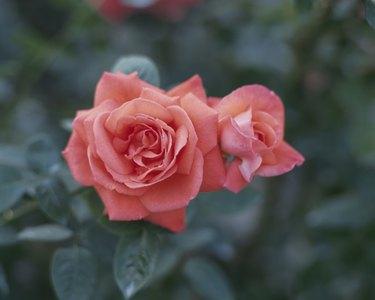 Rose, Super Star