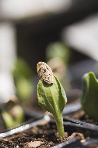 Seedlings in pot