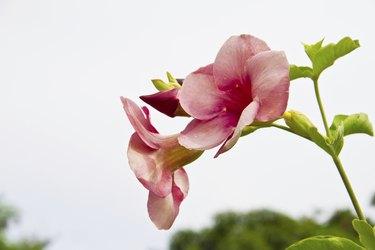Allamanda Flowers, Saritaea magnifica Duyand, Purple Bignonia