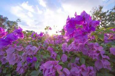 Bougainvillea flowers in a garden