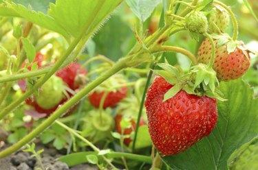 Strawberry bush in the garden
