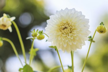 Dahlia colorful flower white for background texture