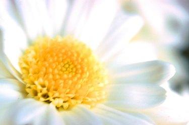 White daisy, full frame