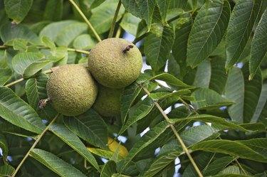 Black Walnut Fruit