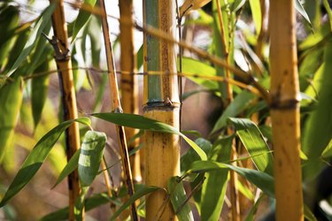 Close Up of Bamboo Leaves