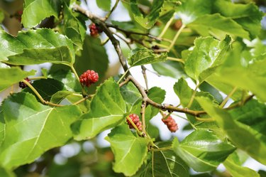 Mulberry fruit on tree