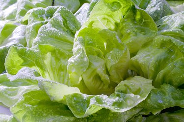 Lettuce with water drops, close up