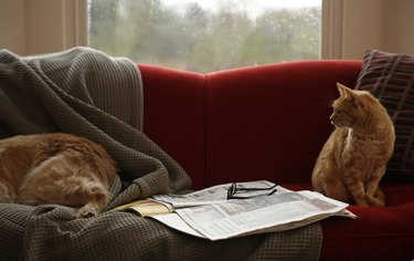 Ginger tabby cat looking at golden retriever sleeping on sofa