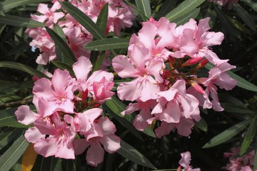Pink Oleander flowers