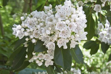 White and Red Mountain Laurel Flowers