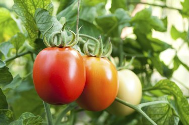 red and green tomatoes grow on twigs