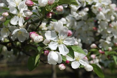 Japanese Crabapple Tree Flowers