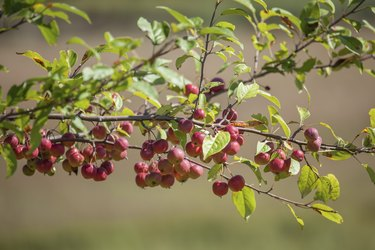 Branch Full Of Crabapples Ripening In The Sunshine