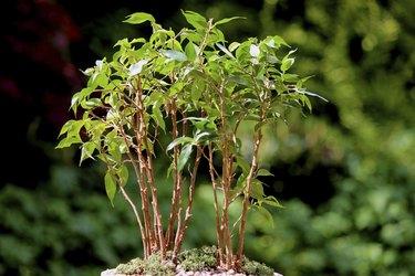 Weeping fig bonsai tree group (ficus benjamina natasja), no pot