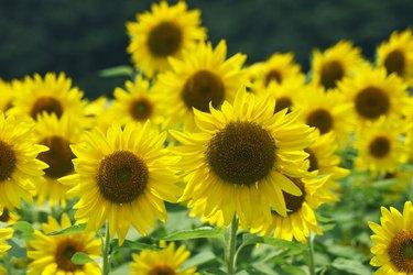 Sunflowers, Hyogo Prefecture, Japan