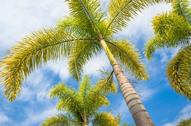 Foxtail Palm and blue sky