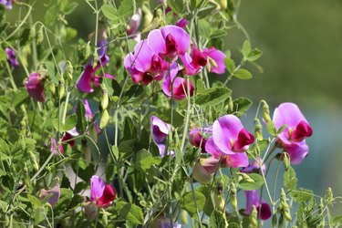 Photo showing a group of pale pink and purple sweet pea flowers growing in a garden, up a wigwam structure made of bamboo canes.  The flowers were extremely fragrant and stunning when viewed both as a group and close up.  Of note, the Latin name for this particular flowering annual climbing plant is: Lathyrus odoratus.