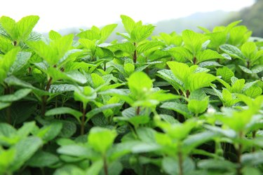 What Are the Different Types of Mint Plants?