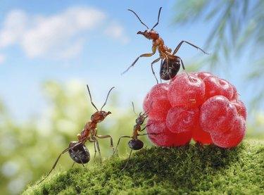 ants and raspberry