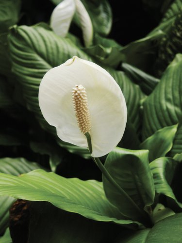 Spathiphyllum or peace lily in bloom, close-up