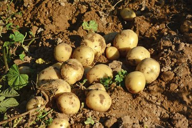 Potato patch