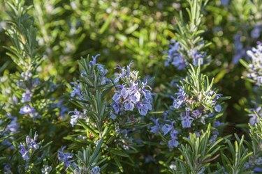 Rosemary bush in flower
