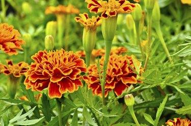 orange and red marigold