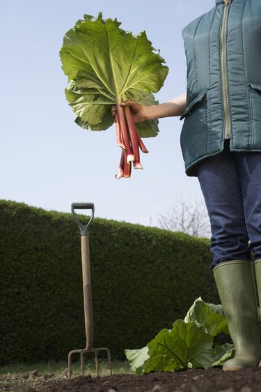 Do I Need to Cover My Rhubarb Plant If the Temperature Gets Below Freezing?