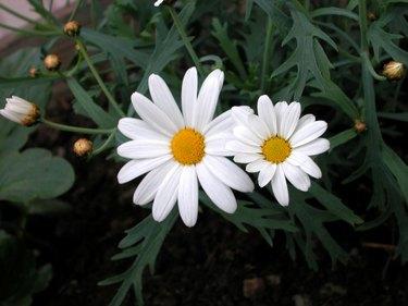 Pair of daisies in bloom outdoors