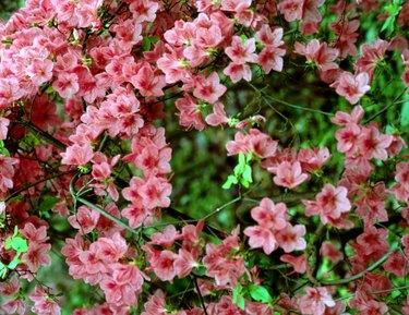 Pink azaleas on bush