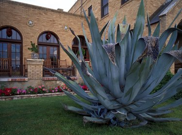 Agave plant at gage hotel