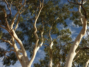 Ghost Gum tree in the Northern Territory central Australia