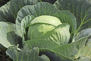 Single Cabbage