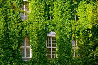 Green Virginia creeper around windows