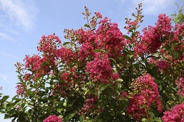 Red Crepe Myrtle against blue sky